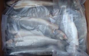 В Калининградской области задержали 6,3 тонны мороженой рыбы из Турции