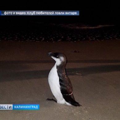 На пляже в Янтарном гагарку приняли за пингвина