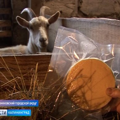 В Калининградской области растёт число хозяйств, в которых готовят популярные виды сыров