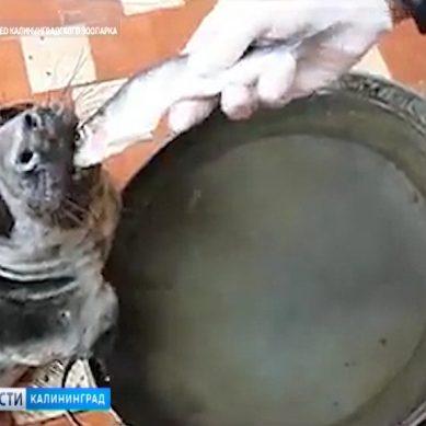 В Калининградский зоопарк привезли раненого тюленя из Янтарного