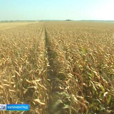 В Калининградской области вырос объем производства сельхозпродукции