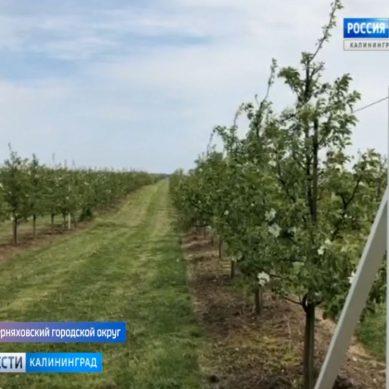 В Калининградской области появился первый промышленный плодово-ягодный питомник